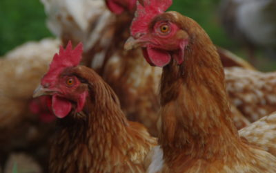 Ei love You!!! Für unsere Hühner tun wir vielerl-Ei.